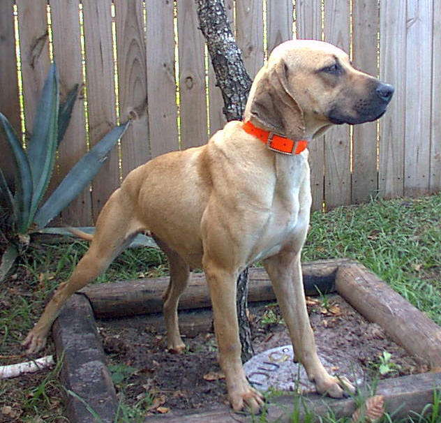 Black Mouth Cur Dogs for Sale