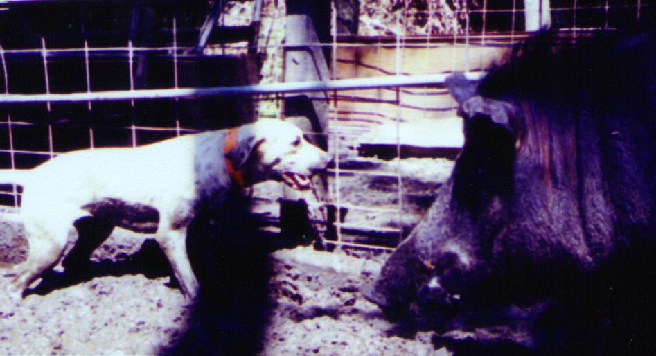 five different types of wild hogs; the original Piney Woods Rooter,